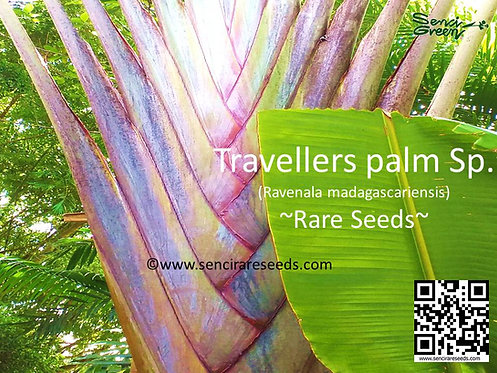 "Ravenala madagascariensis sp. ""Rainbow""/ Traveler's palm / 05 fresh seeds ~rare~"