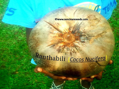 Ranthabili Seed (Giant coconut seed)