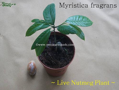 """Nutmeg Live Plant"" ,(Myristica fragrans)"