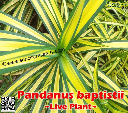 Variegated Pandanus sanderi, Live Plant Yellow-striped Variegated Plant