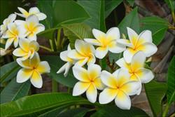Araliya flowers
