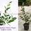 "Barbados Cherry Plant (Malpighia emarginata) 8""-10"" Inches Size"