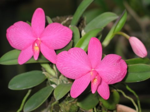 Cattleya (Sophronitis) wittigiana (rosea)