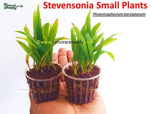 "stevensonia palm small live plants ""Phoenicophorium borsigianum"" Thief Palm"