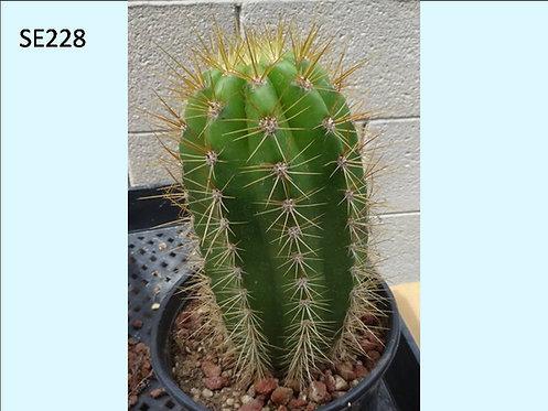 Cactus Plant  SE228