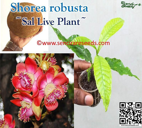 Shorea robusta live plant ~Sal tree~