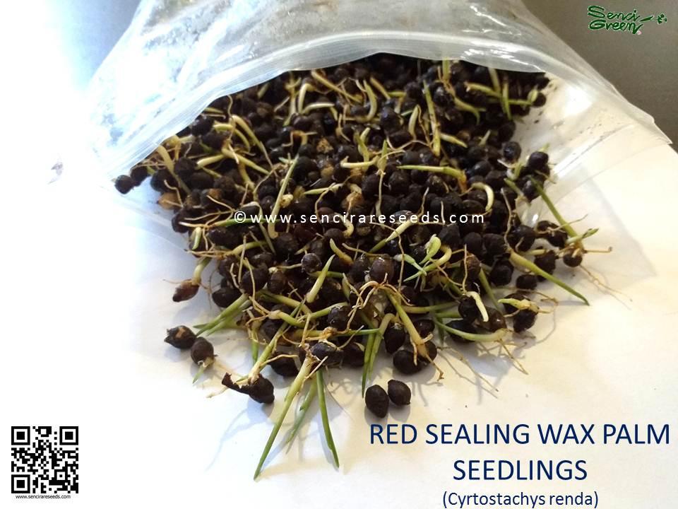 Red sealing wax seedlings