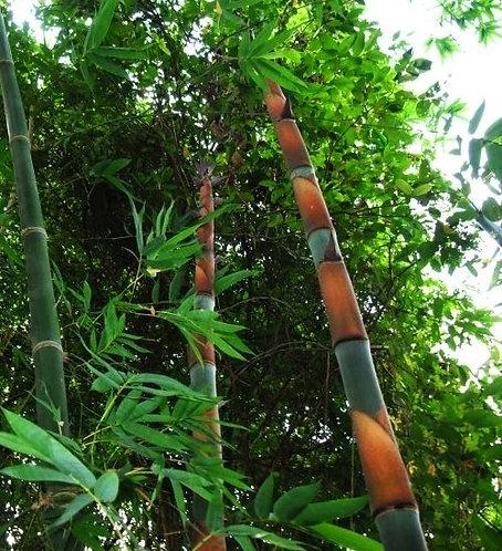 Dendrocalamus grandis