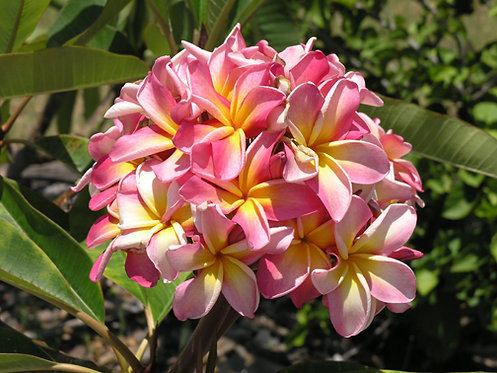 Plumeria Kaneohe Sunrise 2 or 5 cuttings
