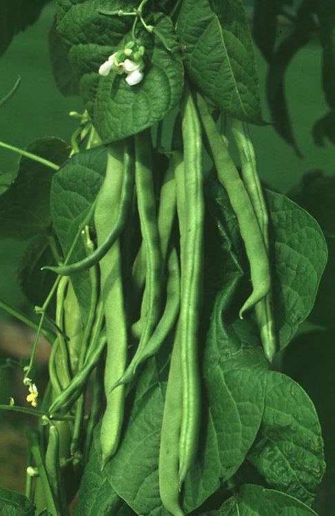 Phaseolus vulgaris L. seeds