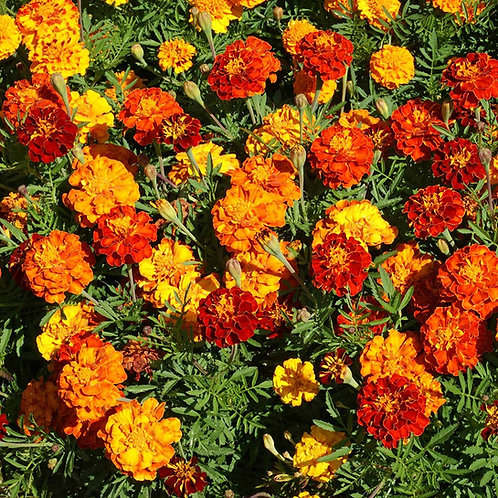 Marigold seed (Mix colors)
