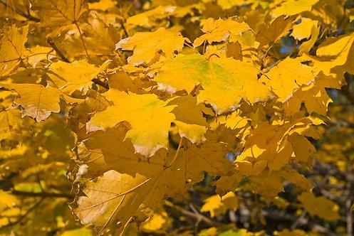 Yellow Maple Seeds