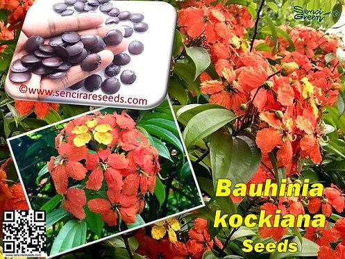 Bauhinia kockiana seeds- inflamed perennial flora climber seeds
