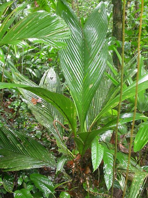 Geonoma cuneata subsp. indivisa