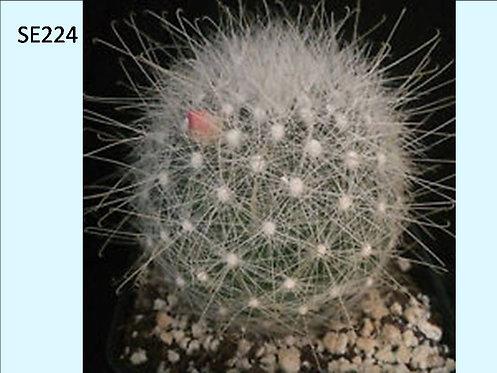 Cactus Plant  SE224