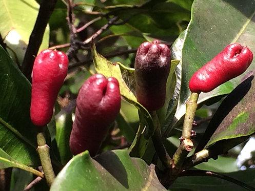 Clove Seeds  (Syzygium aromaticum)