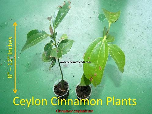 "cinnamon live plants / 10 plants ,cinnamon zeylanicum ""True cinnamon"""