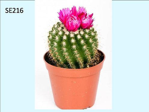 Cactus Plant  SE216