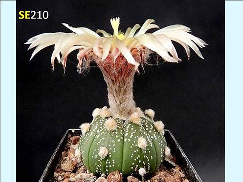 Cactus Plant  SE210