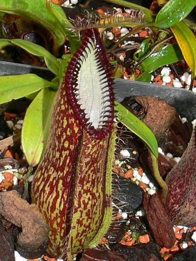 Nepenthes hamata seeds (SE009)
