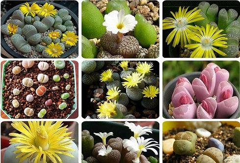 SE005 Mix Lithops seeds