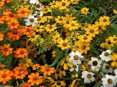 "Zinnia Flower Seeds (MIX) ""senci rare seeds area"""