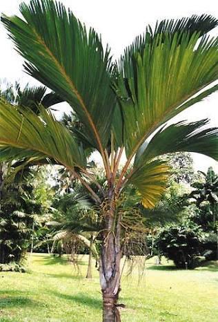 Stevensonia palm (Phoenicophorium borsigianum) Seedlings