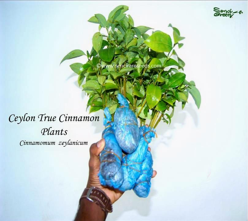 Ceylon Cinnamon Plants
