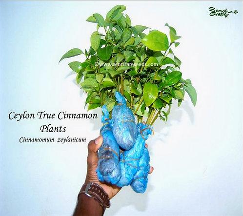 "True Cinnamon live plants ""05+ live plants"" cinnamomum zeylanicum, bare root"