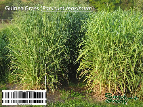 Fresh Guinea Grass Seeds