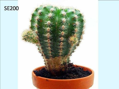 Cactus Plant SE200