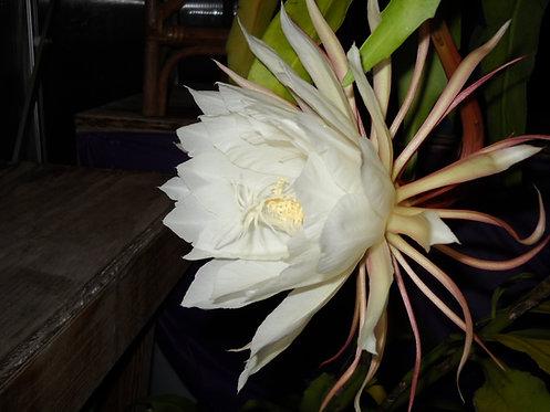 GIANT White Epiphyllum Hylocereus