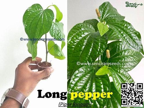 Piper longum 1 Live plant