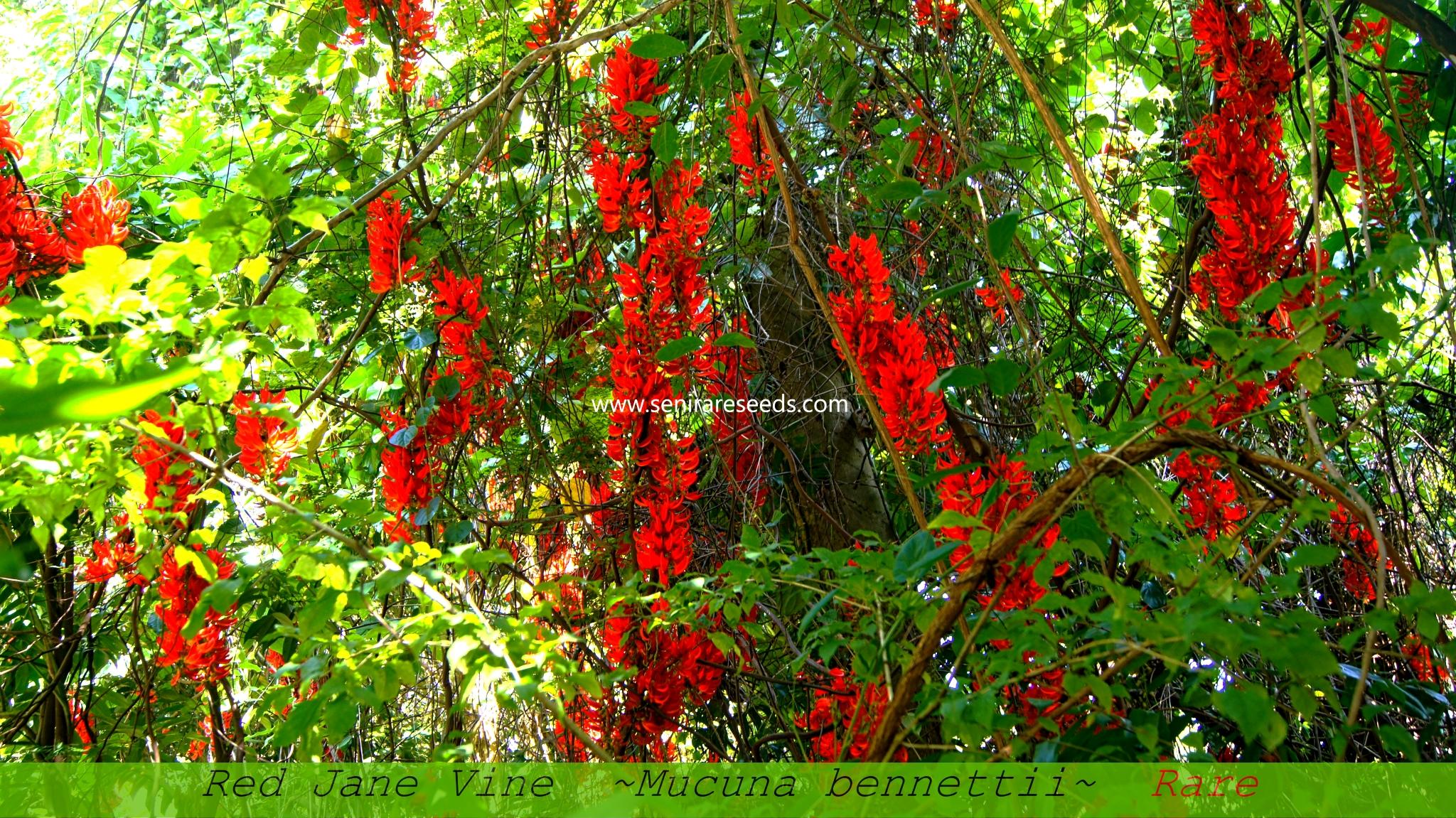 Red Jade Vine Seeds