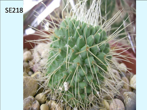 Cactus Plant  SE218