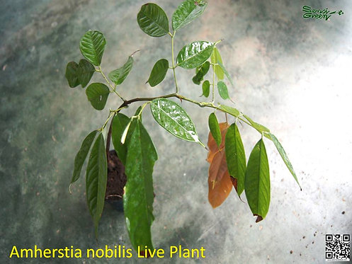 "Amherstia nobilis - 12"" - 15""  Size Live plant"