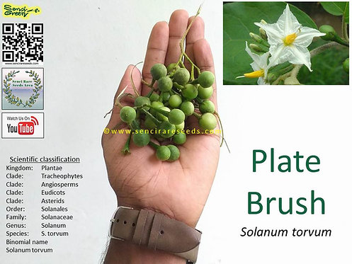 "Plate Brush ""Solanum torvum"" seeds | Herbal | 100% FRESH"
