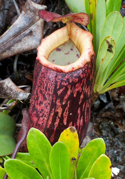 Nepenthes peltata seeds (SE008)