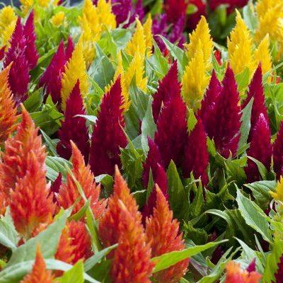 Celosia Extra Dwarf Kewpie Mix seeds