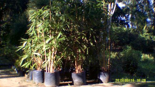 Malaysian Bamboo Plants
