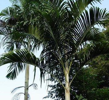 Hydriastele longispatha (= Gulubia longispatha)