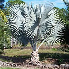 Bismarckia nobilis (Silver)
