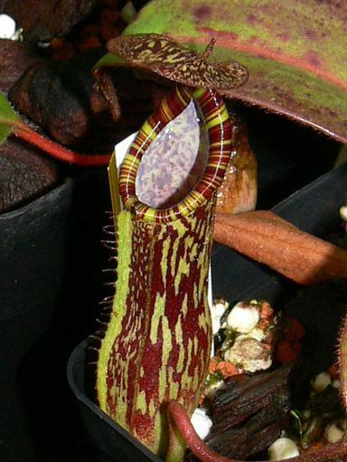 Nepenthes faizaliana seeds (SE0010)