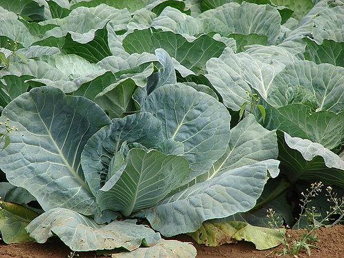 Cabbage : Brassica oleracea  seeds
