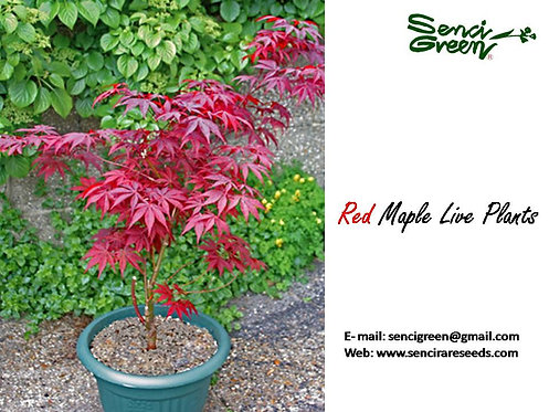 1 1/2 feet Red Maple Plants