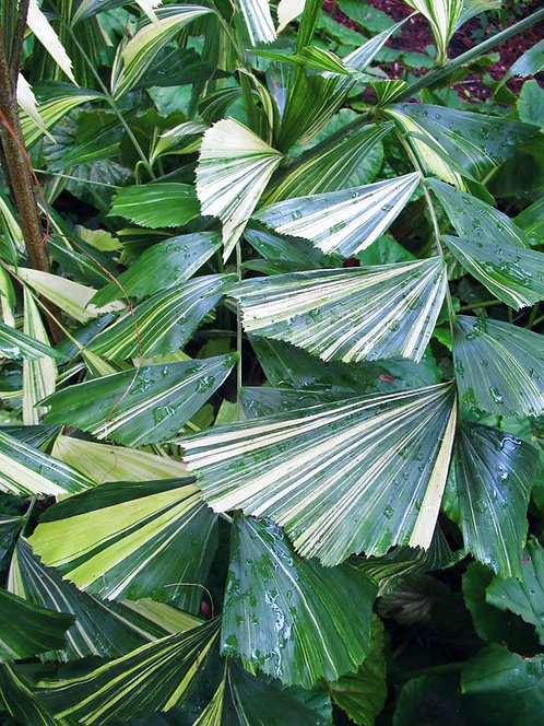 10 SEEDS CARYOTA MITIS LOUR. VARIEGATED CLUSTERING FISHTAIL JAGGERY PALM RARE