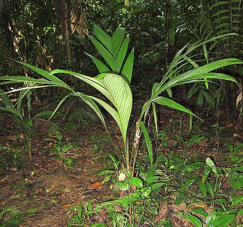 Geonoma cuneata subsp. procumbens
