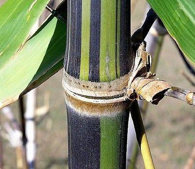 Bambusa emeiensis seeds