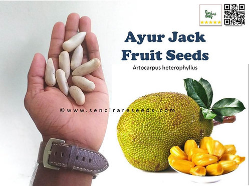 "Ayur Jack Fruit Seeds  ""Artocarpus heterophyllus"""