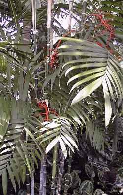 Chamaedorea alternans